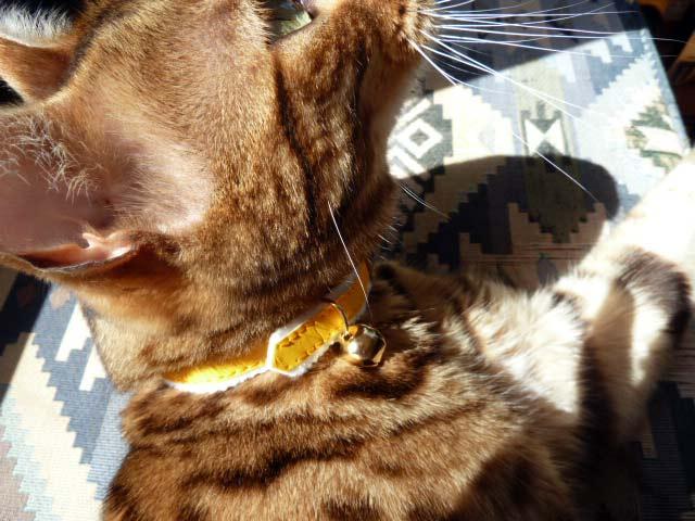 Jackson's New Collar