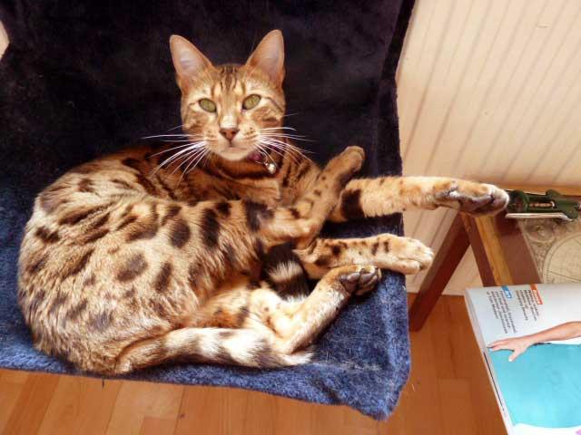 Bengal Cat in Hammock